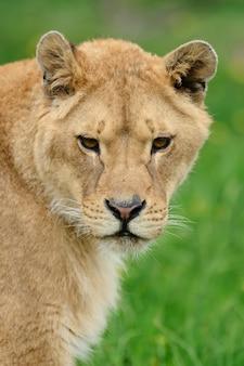 Молодой лев в зеленой траве