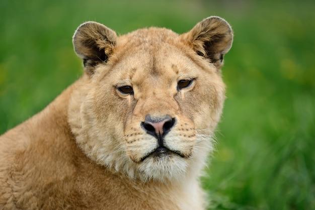 緑の芝生の若いライオン