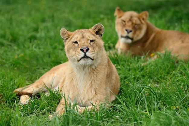 緑の草の若いライオン Premium写真