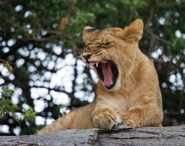 Молодой лев зевает. смешное выражение морды. саванна. национальный парк. кения. танзания. масаи мара. серенгети.