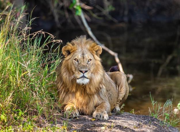 草の中の小さな池の近くの若いライオン。ケニア。タンザニア。アフリカ。
