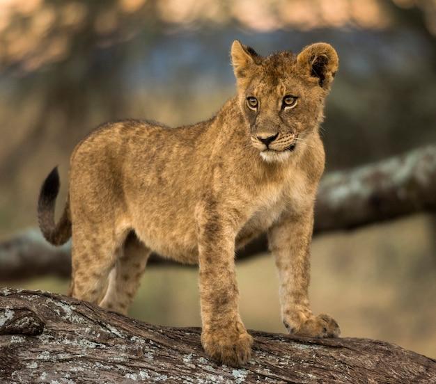 Молодой лев стоит на ветке