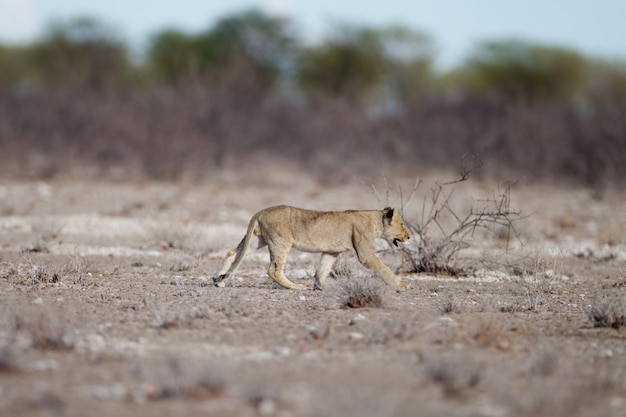 Молодой лев гуляет в поле саванны