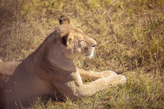 A young lioness is sitting. a beautiful lioness basks in the sun.