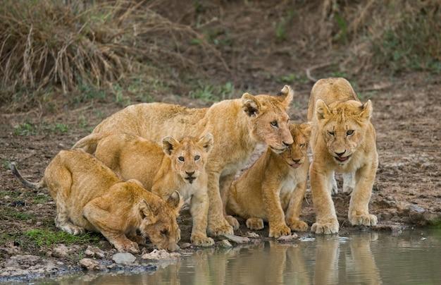 Молодые львы на водопое. кения. танзания. масаи мара. серенгети. прекрасная иллюстрация.