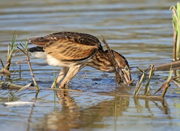 Young little bittern hunting on the reed. close up scene.