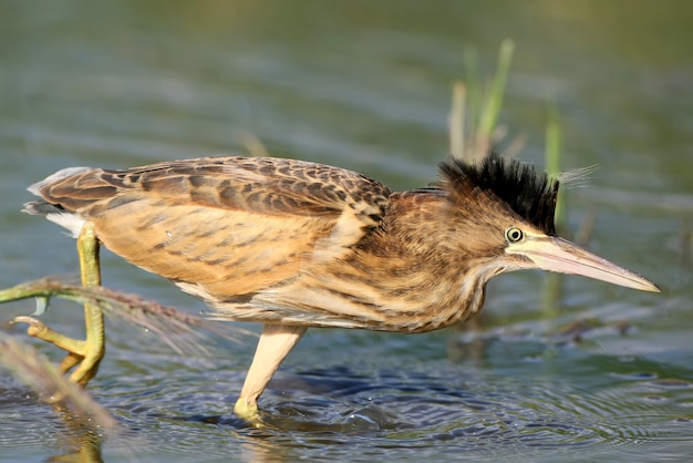 Young little bittern hunting on the water. close up scene.