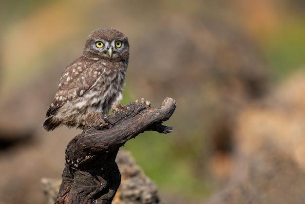 棒に座っている若いコキンメフクロウアテネnoctua。