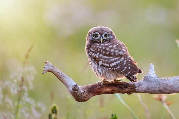 Young little owl, athene noctua,sitting on a stick against a blurred natural background. with copy space