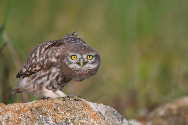 Young little owl, athene noctua, stands on a stone and looks at the camera