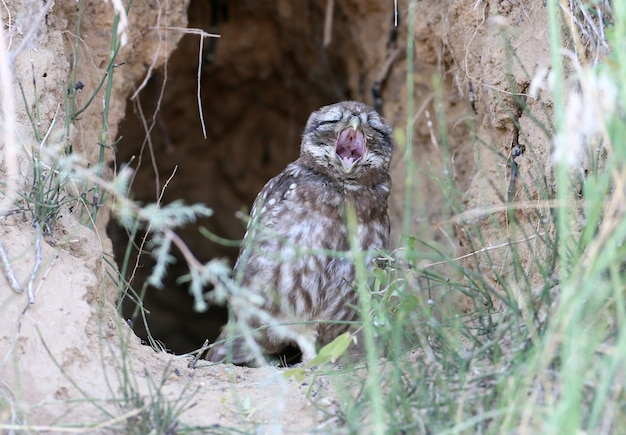 A young little owl sits in the nest  in funny position with open beak