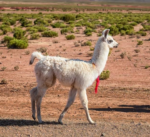 道路の近くを歩いている若いラマ。ボリビア、アルティプラノ。アンデス