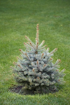 Young magnificent christmas tree without decorations on green lawn