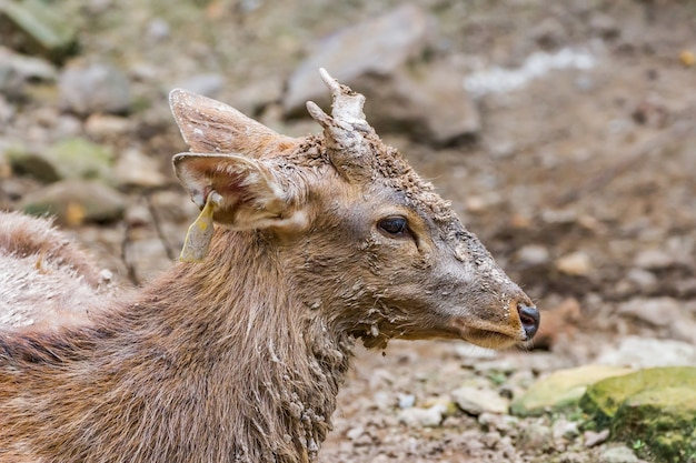Young male deer is very muddy and curious in the zoo