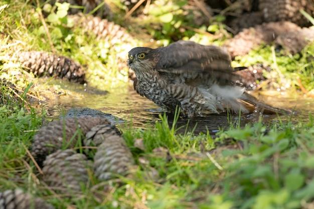 Молодой самец перепелятника у естественного водоема в сосновом лесу летом