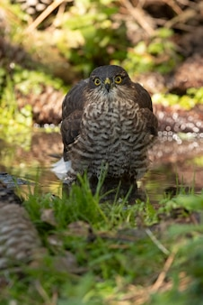 Young male of eurasian sparrow hawk at a natural water point in a pine forest in summer