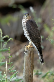 Young male eurasian sparrow hawk at a natural water point in a pine forest in summer