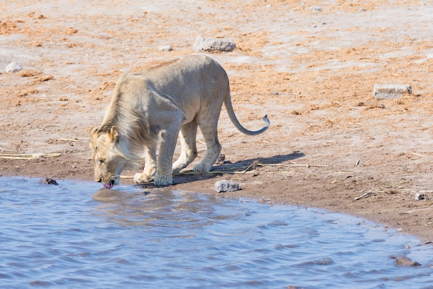 Молодой мужской лев выпивая от waterhole в дневном свете. сафари дикой природы в национальном парке этоша, главное туристическое направление в намибии, африка.