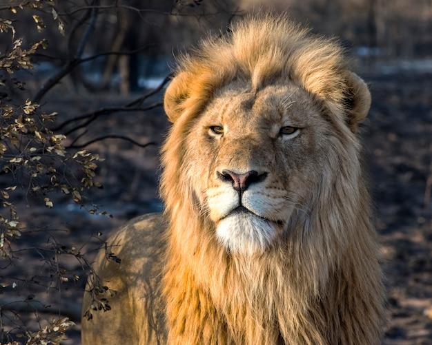 南アフリカの黄金の朝の光の中で若い雄ライオン