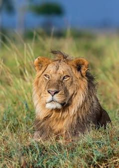 若い雄ライオンがサバンナの芝生に横たわっています。マーサイマーラ国立公園。セレンゲティ国立公園。