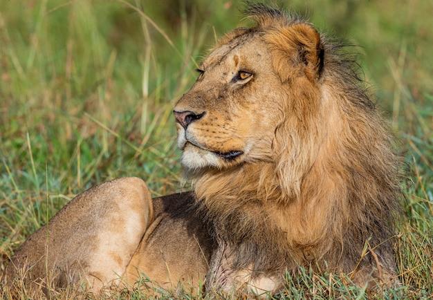 若い雄ライオンがサバンナの芝生に横たわっています。セレンゲティ国立公園。