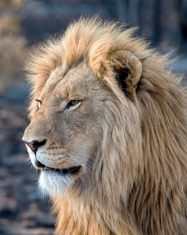 Young male lion in profile in south africa