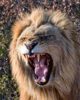 南アフリカの夜明けにとどろく若い雄ライオン