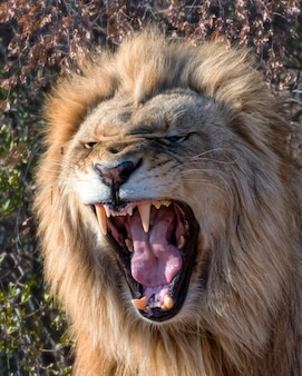 Young male lion roaring at dawn in south africa