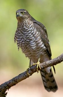 Молодой самец евразийского перепелятника на рассвете, ястреб, птицы, соколы, accipiter nisus