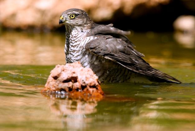 Молодой самец евразийского перепелятника, купающийся и пьющий в водопое летом, ястреб, птицы, соколы, accipiter nisus