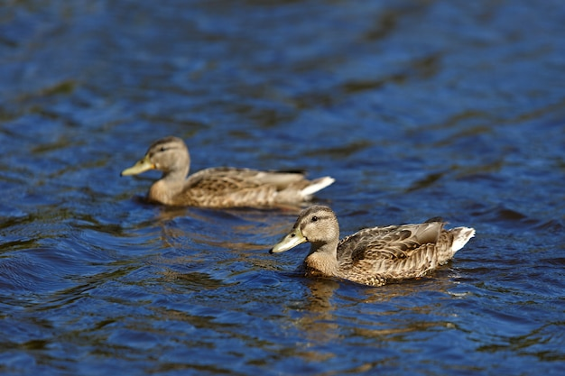 Young mallard ducks swim in the pond in the summer.