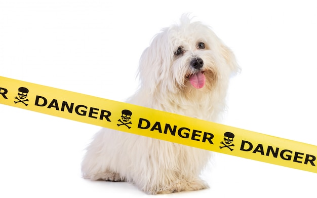 Young maltese bichon with a yellow danger signage