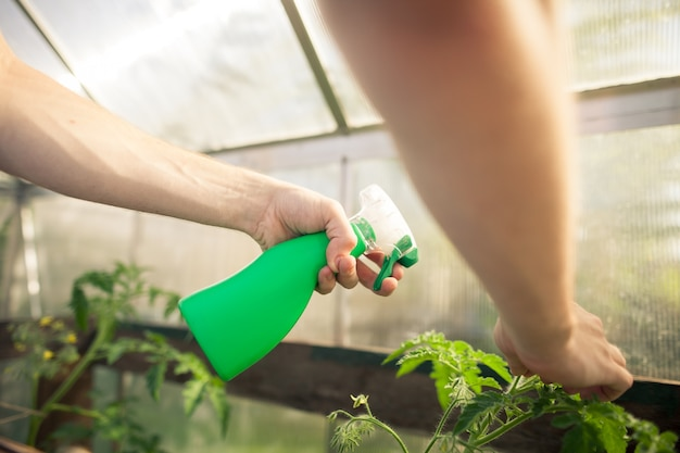 Young man hands spraying nature fertilizer  mature to a tomato plants