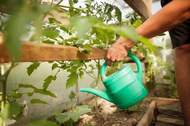 若い男は彼の温室でいくつかの野菜に水をまく手