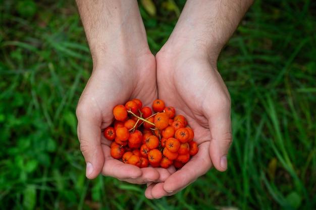 若い男が彼の手でashberryを保持している、男の手は秋のクローズアップで熟したマウンテンアッシュベリーの束を保持しています。