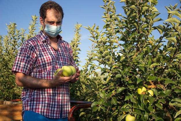 フェイスマスクと果樹のプランテーションで黄金の林檎を拾う格子縞のシャツを着た若い男。