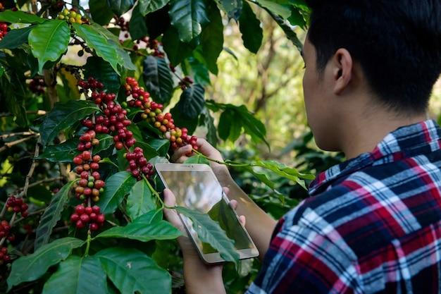 Молодой человек-исследователь исследует кофейные зерна арабики на кофейных деревьях, выращенных на возвышенности в чиангмае, таиланд