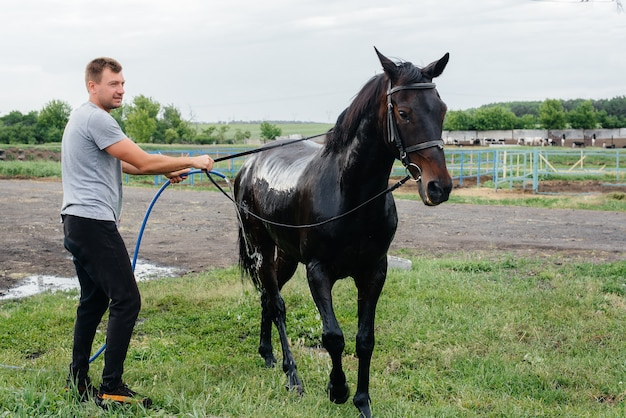 A young man washes a thoroughbred horse with a hose on a summer day at the ranch. animal husbandry, and horse breeding.