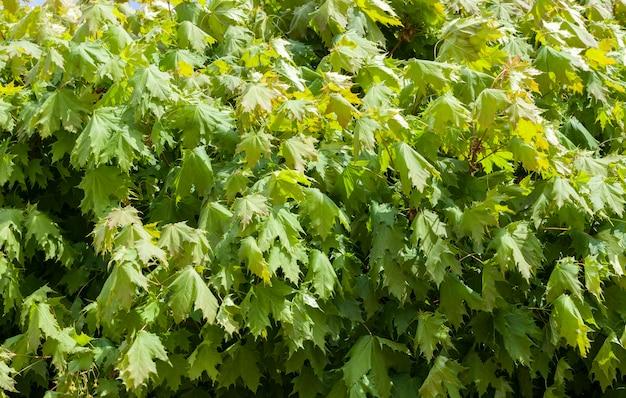 春に撮影された若いカエデの葉