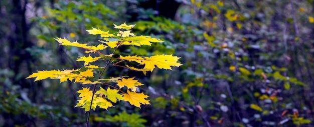 暗い秋の森の黄色の葉を持つ若いカエデ