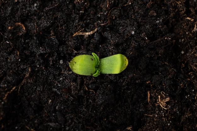 Молодые растения марихуаны в горшке с землей заделывают, семядоли первые листья конопли.