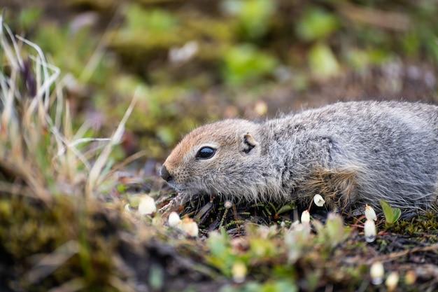 Young marmot sitting near its hole