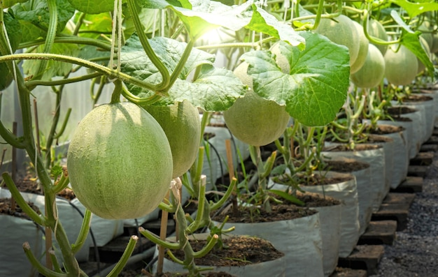 Young melons plants cantaloupe growing in greenhouse