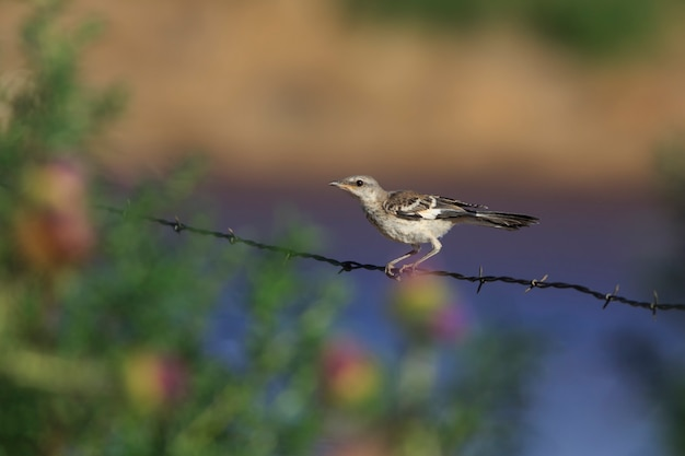 Young mockingbird perching on barbed wire fence