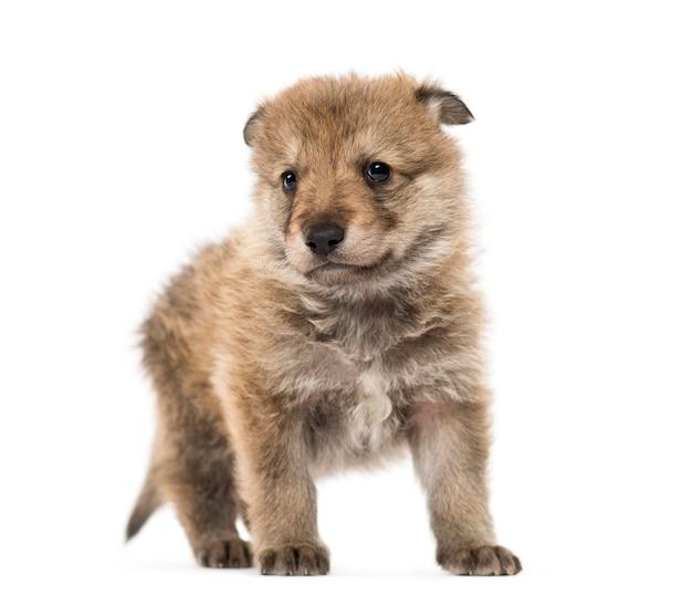 若いモンゴルオオカミ、または灰色のオオカミ、生後1か月、孤立