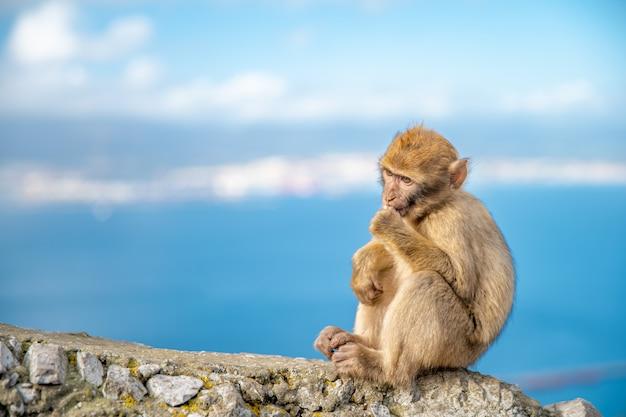 Молодая обезьяна macaca sylvanus, сидя на скале у побережья. копировать пространство