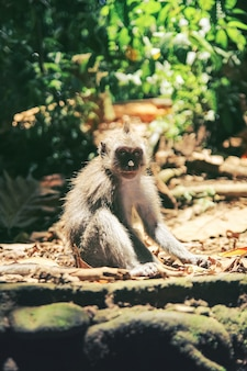 A young monkey with a cute face sits on the sunwarmed rocks in the jungle of bali indonesia