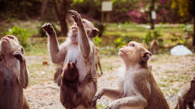 Young monkeys macaque in  thailand, south east asia. happiness background concept.
