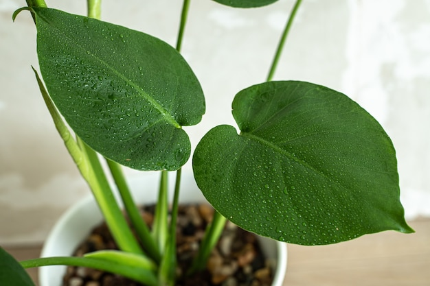 Young monstera deliciosa  leaves in water drops