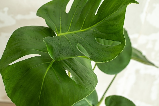 Young monstera deliciosa leaves with water drops. top view. selective focus